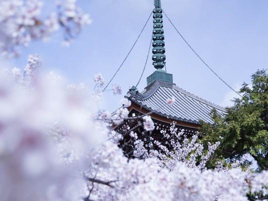 【京都】春らんまん☆桜の撮り方を学びながら桜の穴場めぐり!の画像