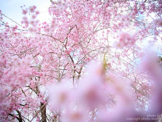 【京都】桜と春の花々でスナップデビュー!in植物園【初~中級者】の画像