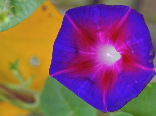 両国錦糸町のアサガオ朝顔夏の花を撮る向島百花園by