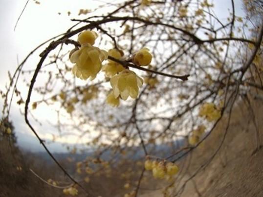 冬の花(蝋梅)が咲く宝登山と長瀞アルプス陽だまりフォトハイキングの画像