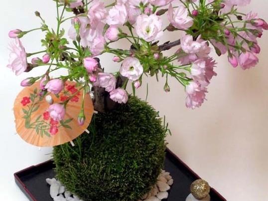 桜の苔玉体験講座(池袋3月2日)の画像