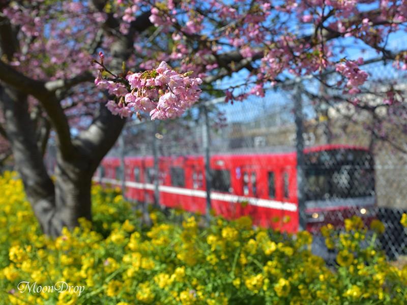 フォトピクニック☆三浦海岸で河津桜と菜の花を撮ろう!の画像