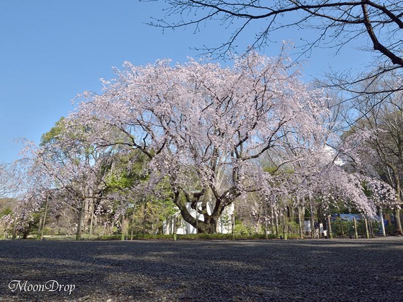 お写ん歩レッスン☆六義園 大名庭園のしだれ桜を撮ろう!の画像