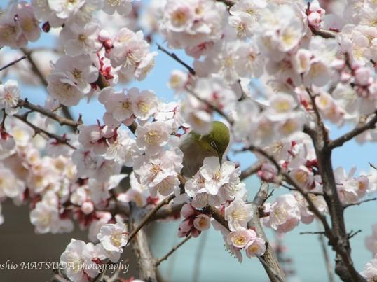 春の湯島天神で柔らかな梅の撮影の画像