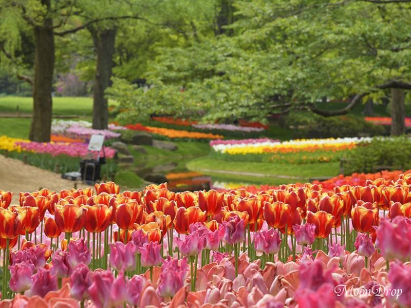 お写ん歩レッスン☆昭和記念公園でカラフルなチューリップを撮ろう!の画像