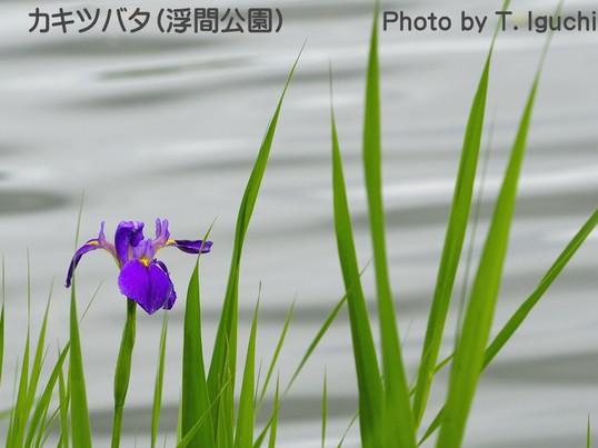 希少な水辺の花・カキツバタを撮る【都立浮間公園】<期間限定>の画像