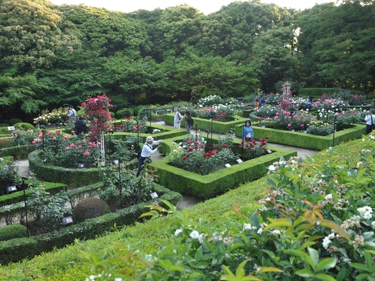 旧古河庭園でバラの撮影の画像