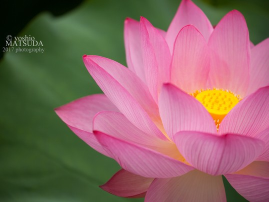 早朝講座・蓮の花を綺麗に撮ろうの画像