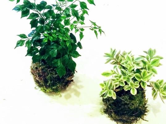 観葉植物のコケ玉作り(2個作れます♪)の画像