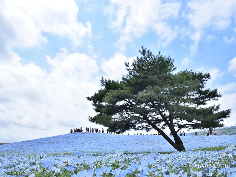 お写ん歩レッスン☆大人の遠足☆絶景ネモフィラブルーの世界を撮ろう!の画像