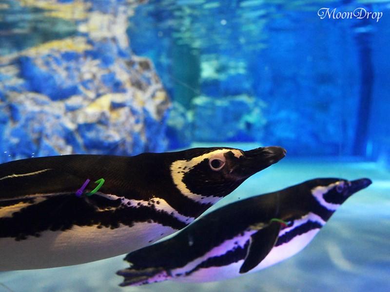 お写ん歩レッスン☆陸・水を自由に遊ぶペンギン・チンアナゴを撮ろう!の画像