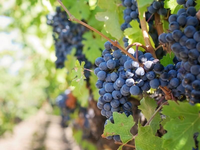 チーズマラソン | 春のワイン祭『ブドウ畑のある暮らし』の画像