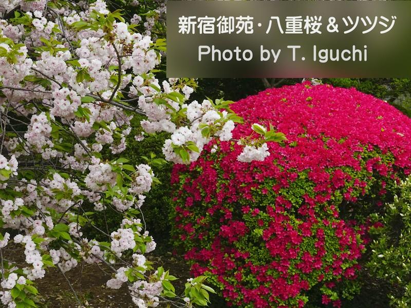 新宿御苑の桜とツツジを極める撮影会【八重桜&ツツジ山】の画像