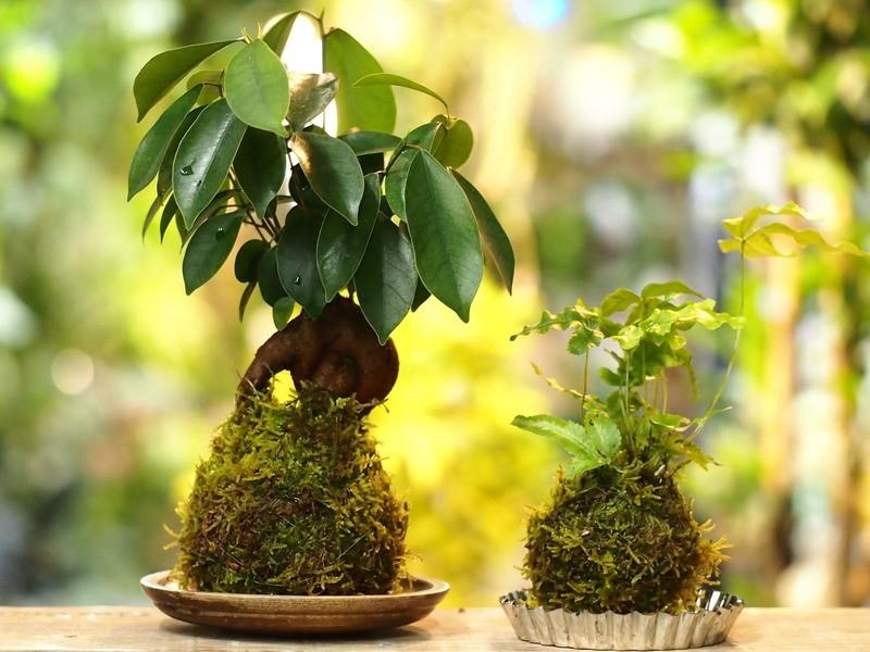 【tukuriba調布店開催】ガジュマルの苔玉と選べる観葉の苔玉の画像