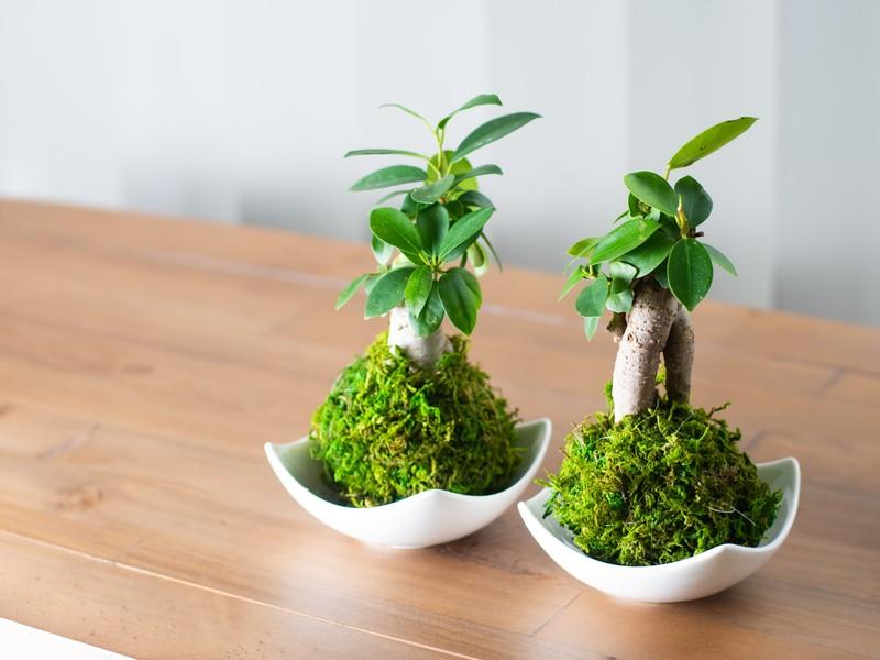 まんまる苔玉にガジュマル体験!枝もの植物×苔玉アレンジ体験の画像