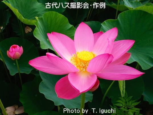 夏の朝・・目覚めの蓮花を撮る!〔原市沼・古代ハス撮影会〕の画像