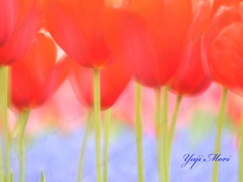 楽しめる写真講座 チューリップ 昭和記念公園  基礎編の画像