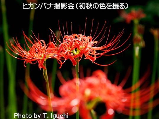 ヒガンバナ【彼岸花】・鮮やかな赤色を撮る!の画像