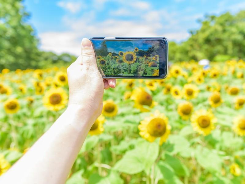 【お花の撮影会】馬見丘陵公園でひまわりを撮ろうの画像