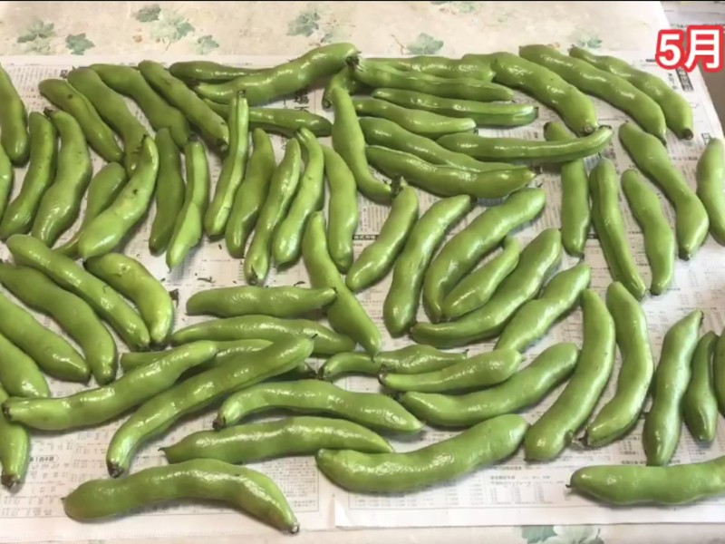 [上級] そら豆を育てよう、無農薬でオーガニックな自然農法での画像