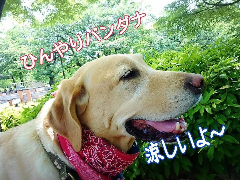 愛犬のクールバンダナを作っちゃおうっ!の画像