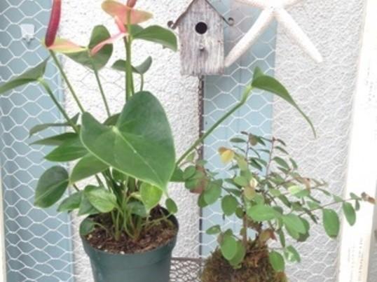 アンスリウムと観葉植物のコケ玉作り体験の画像