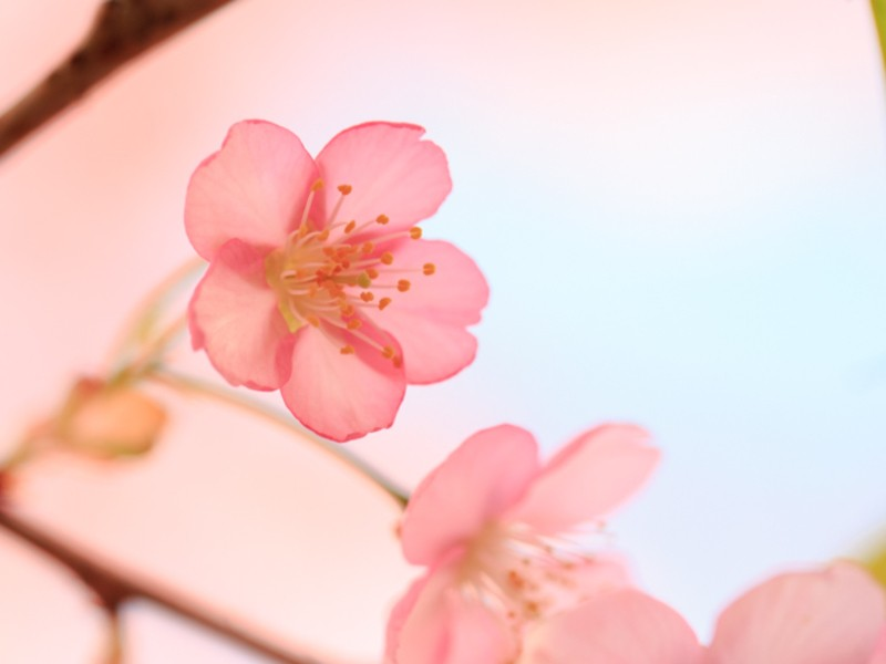 三浦海岸・河津桜撮影3時間コースの画像