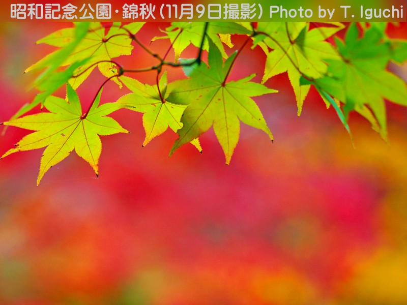 <本格紅葉を先撮り!>錦秋を求めて~昭和記念公園~《ミニ講評付》の画像