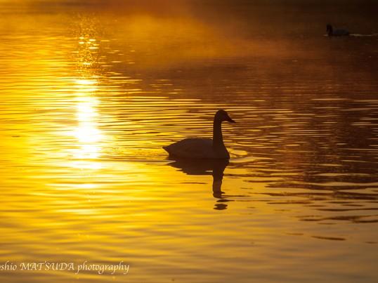 初心者向け早朝の白鳥撮影の画像