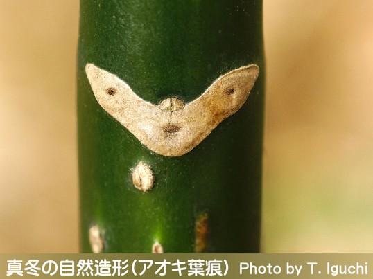 真冬の自然造形を撮る!【シモバシラ&葉痕】〔自然教育園〕の画像