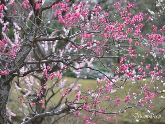 お写ん歩レッスン☆水戸黄門ゆかりの名園 小石川後楽園で梅を撮ろう!の画像