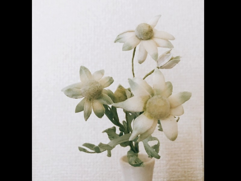 《6.7月の布花》フランネルフラワーのドライフラワーブローチの画像
