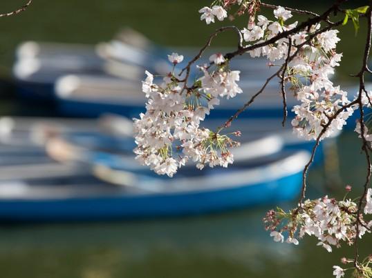 さくらの名所で望遠レンズで迫力ある魅力的な撮影出来る桜撮影セミナーの画像