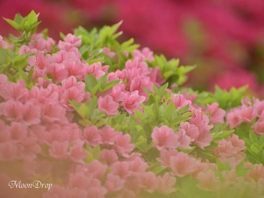 お写ん歩レッスン☆根津神社でつつじのある花風景を撮ろう!の画像