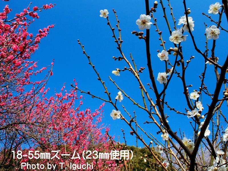 梅の花を撮って春を楽しもう!〔万葉から続く春景色〕初心者向きの画像