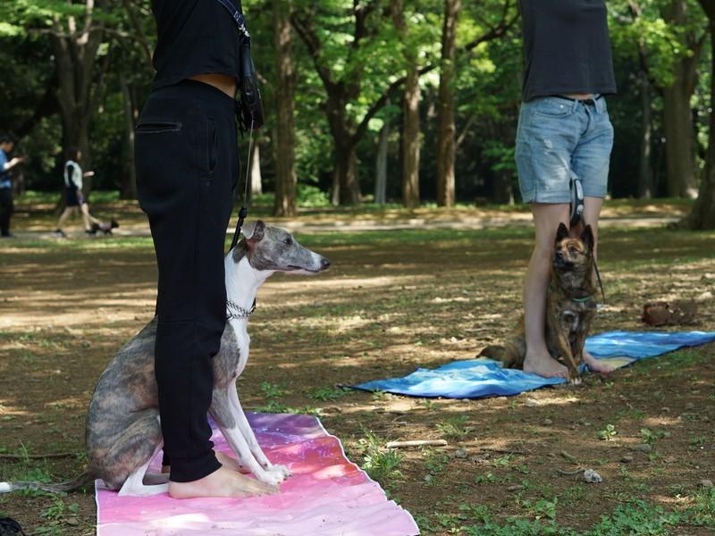 犬と触れ合いながら姿勢を向上させるドッグヨガ@代々木公園 の画像