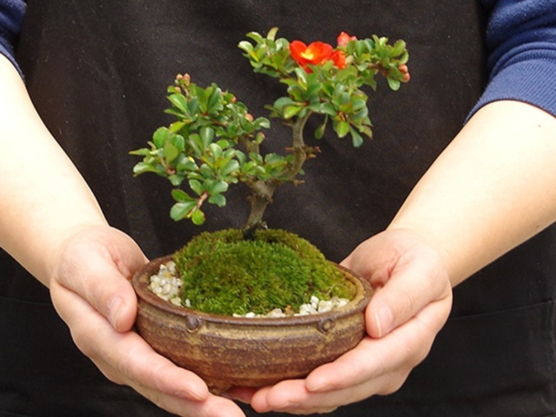 年に数回開花する縁起良い長寿梅(チョウジュバイ)の★ミニ盆栽★の画像