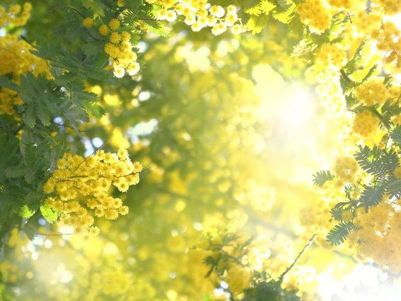 日比谷花壇フラワーデザイナーと作る「ミモザのフラワースワッグ」の画像