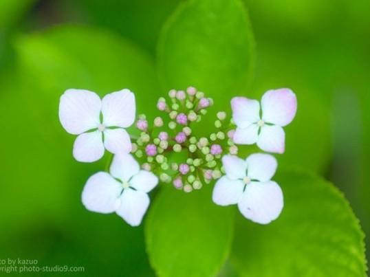 【季節限定】1万株のあじさいでお花を上手にしっとり撮るコツを学ぶ!の画像