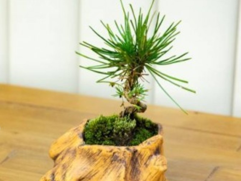 【海外でも大人気】手入れが簡単な黒松のミニ盆栽を作ってみませんか?の画像