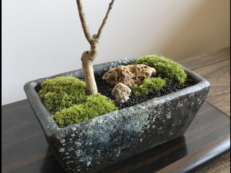 作る楽しさ育てる喜び…モミジの情景盆栽作り!午前・午後・夕の3部制の画像