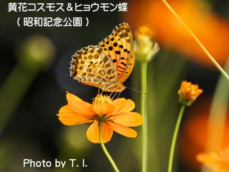 コスモス撮影講座【レンズワークとボケでキレイに撮る】昭和記念公園の画像
