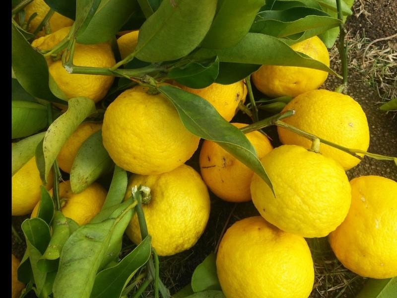 柚子胡椒作りと天然酵母の簡単クロワッサンの画像