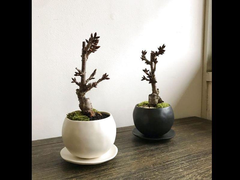 箱庭王直伝! 桜花を愛でる…一才桜の情景盆栽作り の画像
