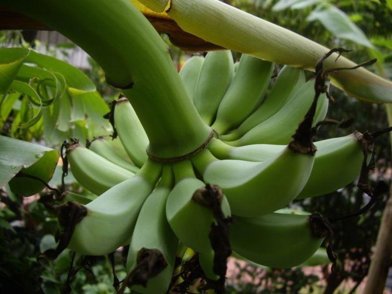 【実践編】あなたも自宅でバナナが収穫できるの画像