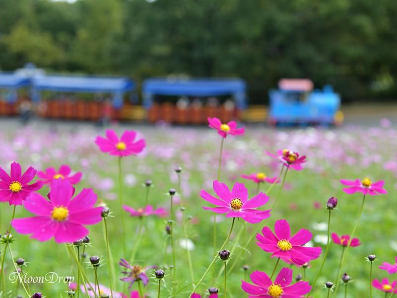 お写ん歩レッスン☆広いお花畑で揺れるコスモスを撮ろう!昭和記念公園の画像
