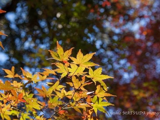 紅葉を撮りに行こうの画像