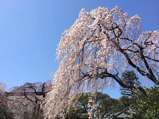春の高尾山ハイキングと桜の撮影ツアーの画像