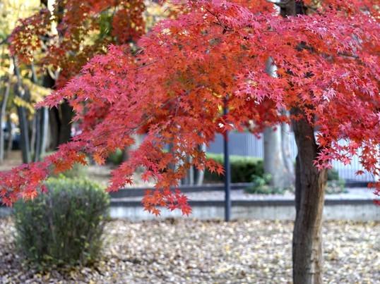 谷中・上野公園あたりでプチ紅葉撮影しようの画像