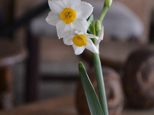 『一度はいけてみたい日本の花木』<水仙> ~いけて、愛でる~の画像